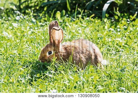 Beautiful rabbit in green grass. Easter bunny. Animal theme. Green grass. Big ears. Little rabbit.