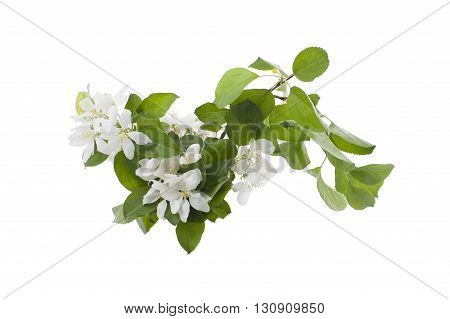 The Branch Of An Apple-tree In The Flowering Period..