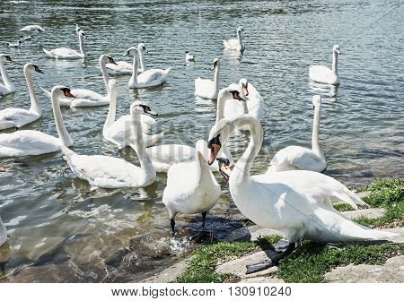 Beautiful Swans - Cygnus. Birds scene. Waterfowl on the lake shore. Beauty in nature. Animal scene. Water birds. Ballet symbol.