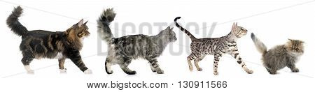 four walking cats in front of white background