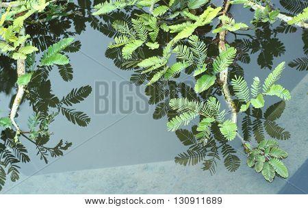 Water Mimosa