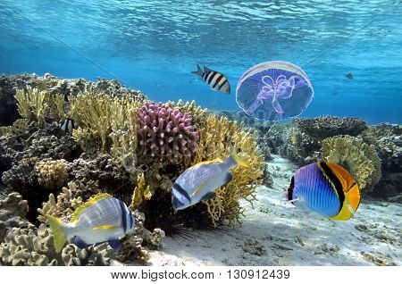 Tropical fish and Hard corals in the Red Sea Egypt