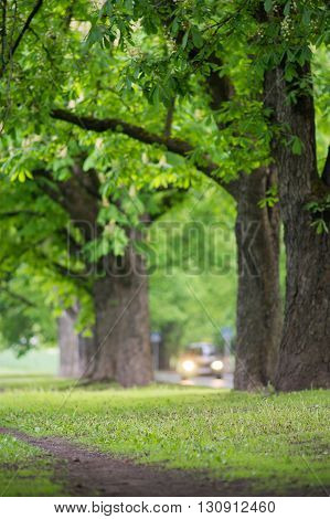 Roadside with fresh springtime greenery blossom chestnut trees and moving car blurred image
