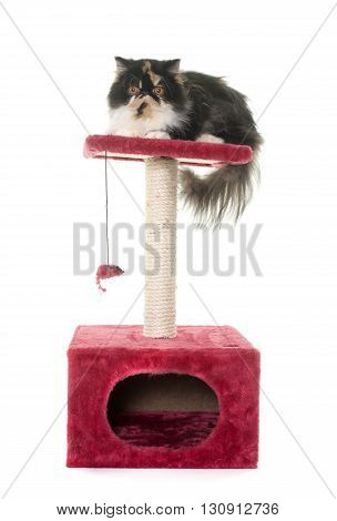 tricolor persian cat on scratching post in front of white background