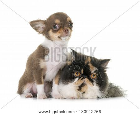 tricolor persian cat and chihuahua in front of white background
