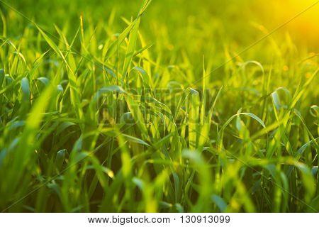 Grass Background. Green Grass Texture