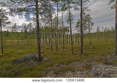 Dried swamp in the north woods. Karelia Russia.