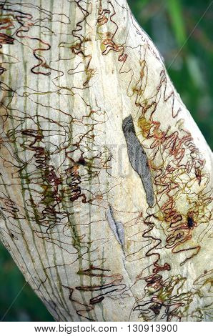 Scribbly gum bark with rainfall stripes, Australia