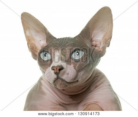 sphinx cat in front of white background