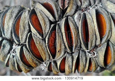 Close up of an Australian Banksia seed pod