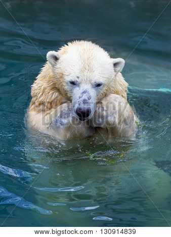 Polar bear swimming and asking food in water