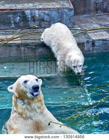 Polar bear is sticking out his tongue in zoo