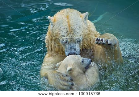 Bathing and playing polar bear with her cub