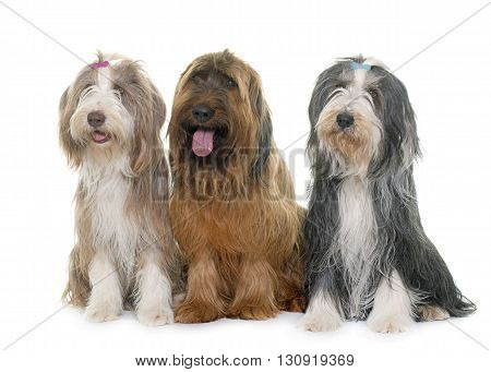 adult briard and bearded collie in front of white background