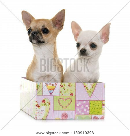 puppies chihuahua in front of white background
