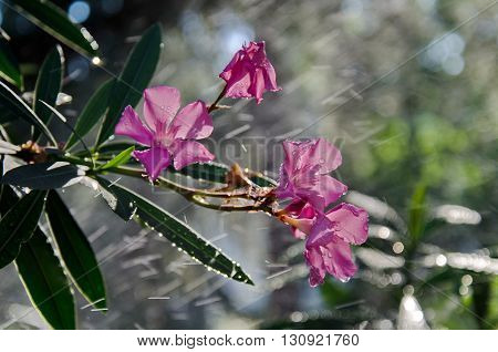 An attractive evergreen shrub for warm climates oleander produces heavily scented colorful flowers all summer and fall.