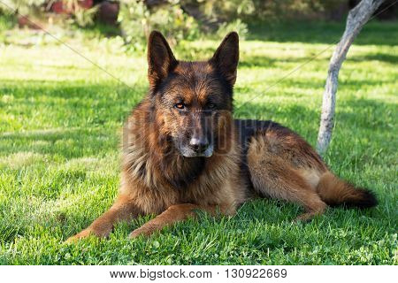 One German shepherd on a lawn in the forest.