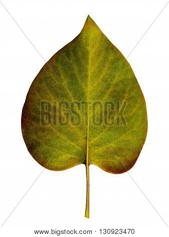 Autumn leaf on a white background isolated with clipping path. Closeup with no shadows. Macro. Fading leaf lilac bush. Indian summer. Colorful fading nature. For design of cards and web sites about nature. Back view.