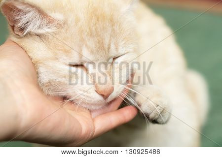 Ginger cat fawning upon hand of man