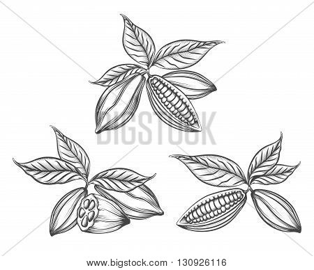 Cacao beans engraved vector or hand drawn cocoa pods line icons