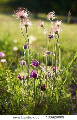 Purple furry flower in the sun and green grass