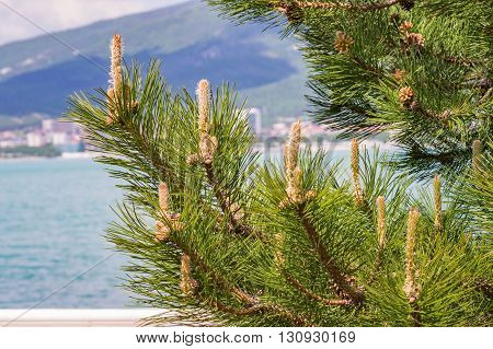 Fresh Sprouts Of Pine Tree On Sea Bay Background