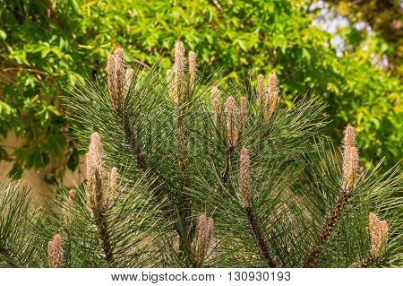 Fresh Sprouts Of Scots Pine
