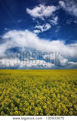 flowering field of colza outdoors in spring. Dramatic blue sky