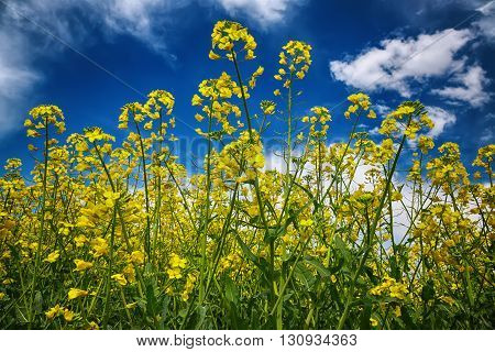 flowering field of colza outdoors in spring. Dramatic blue sky. Close up