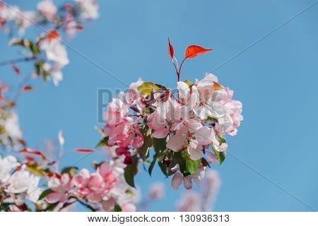Beautiful apple tree branch blooming with pink fllowers at blue sky view. Spring Background