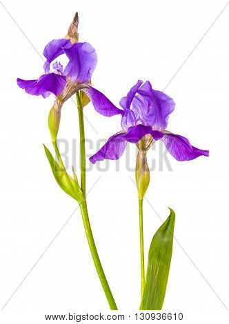 Purple Iris Flower. Isolation Is Not A White Background