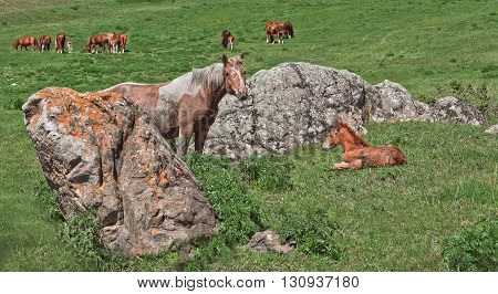 Wild horses: a mare and a newborn stay near stone