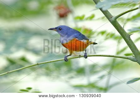 Orange-bellied Flowerpecker Dicaeum trigonostigma Male Birds ofThailand