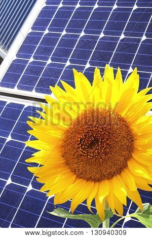 Solar cells of blue color and yellow sunflower