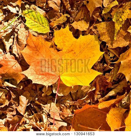 Autumn Park Ground With Autumn Leaves, Colorful Dry Maple Leaf On Orange Beeches Leaves.