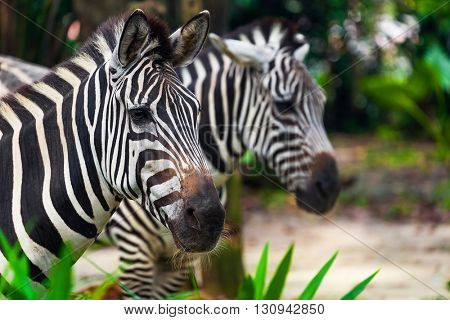 Zebra in park - animal background