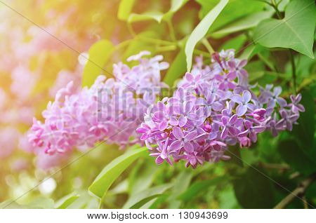 Pink lilac flowers in spring blossom - closeup view soft focus and pastel processing. Spring background