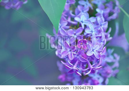 Pink lilac flowers in bloom - floral background with free space for text. Cold pastel and soft focus processing