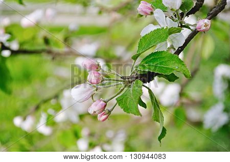 Apple flowers buds in spring blossom - spring floral background in soft pastel tones. Apple tree in the spring garden.