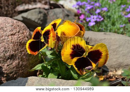 miriam violet yellow flower garden blossom plant