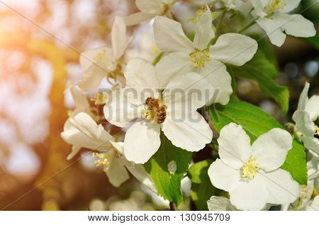 Apple tree with bee collecting nectar from a flower. Apple blooming tree in the sunny spring garden. Spring floral background.