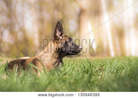 Red malinois junior puppy in summer sunny park on the walk