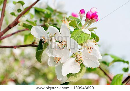 Closeup of spring apple flowers in blossom - spring floral background. Apple tree branch in the spring garden.