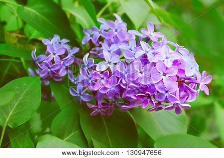 Pink lilac flowers in spring blossom - closeup view soft focus and warm pastel processing. Spring floral background