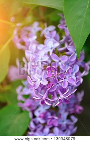 Pink lilac flowers in bloom - floral closeup spring background. Pastel and soft focus processing