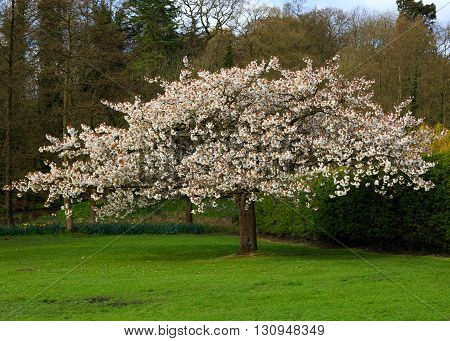 NEWSTEAD ENGLAND - APRIL 30: A pink flowered cherry blossom tree. At Newstead Abbey Newstead Nottinghamshire England. On 30th April 2016.