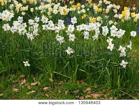 White daffodils (Narcissus) in spring in an English garden.