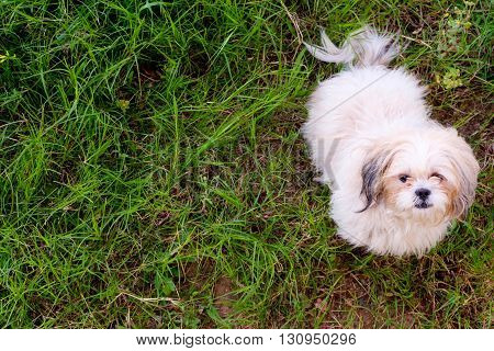 Shih tzu dog is sitting in the lawn