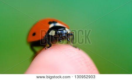 Little Ladybug Sitting On Finger Summer