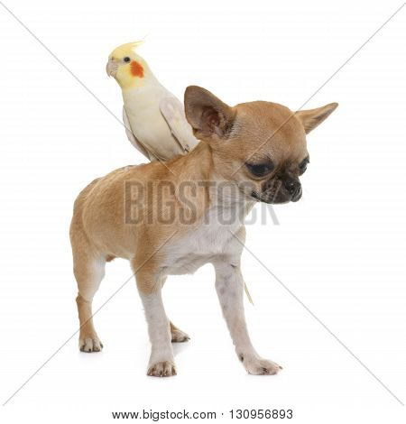 puppy chihuahua and cockatiel in front of white background